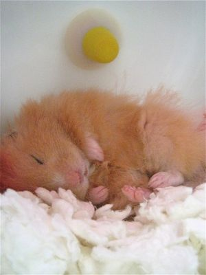 Photo of sleeping hamster by Carolyn Cole
